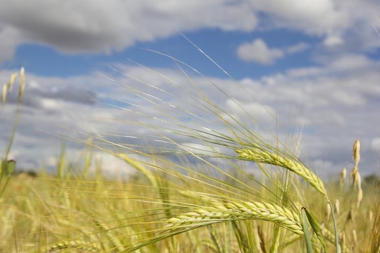 Минсельхоз США понизил прогноз урожая зерна вРоссии