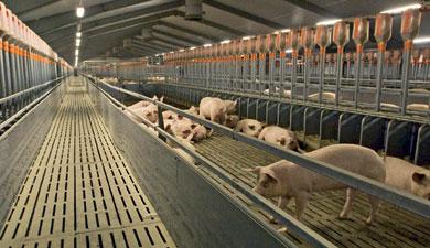 Построено 250 свинокомплексов