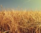 Прогноз мирового производства зерна снижен из-за засухи