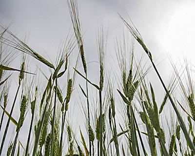 Неустойчивые к болезням сорта пшеницы оказались лучше