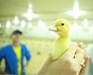 «Донстар» поитогам 2016 года произведет 26 тыс. тмяса утки