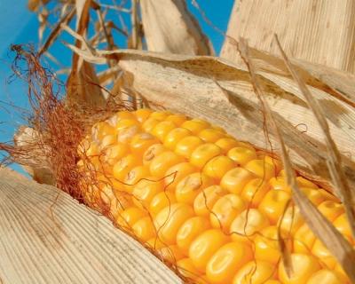 Кукурузный захват: интерес к кукурузе связан с развитием животноводства и увеличением экспортного потенциала