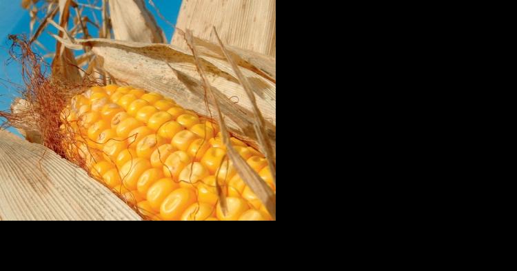 Обзор рынка зерновой кукурузы в России