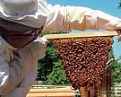 ВСША определили причину коллапса пчелиных колоний