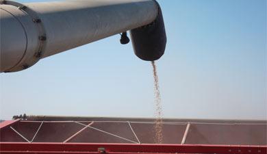 МСХ может снизить прогноз сбора зерна до70?75 млн т