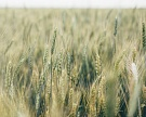 Прирост оборота органического зерна в ЕС составляет 25% в год