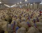 «Евродон» уничтожит 160 тыс. индеек из-за гриппа птиц
