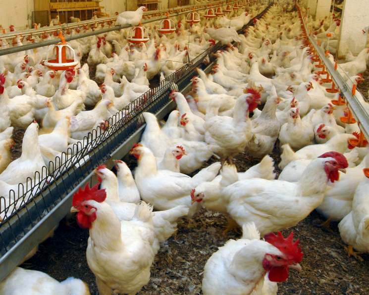 Тест для селекции устойчивых к болезням кур