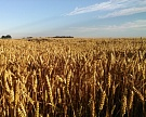 Минсельхоз ждет ежегодного роста урожая зерна на0,5−2,8%