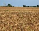 Майский фьючерс на пшеницу за прошедшую неделю вырос на 4,7%
