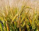 Урожай зерна может превысить прошлогодний рекорд