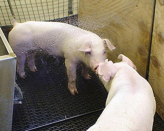 Свиньи предпочитают помещения, оснащенные зеркалами