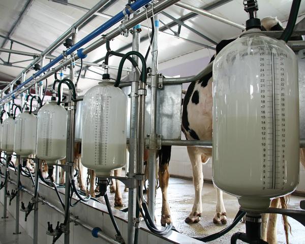 Выживают только с господдержкой: без субсидий молочное животноводство часто убыточно