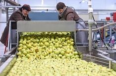 Промышленное производство яблок превзошло сбор в частном секторе