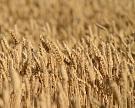 Мировые остатки пшеницы достигнут рекорда