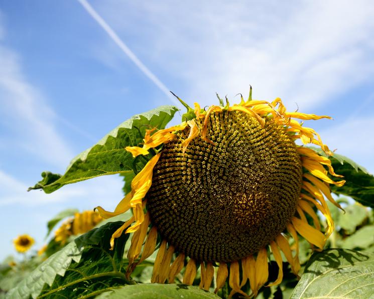Минсельхоз США нестал снижать урожай подсолнечника вРоссии