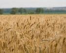 За месяц зерно подорожало на 800 рублей за тонну