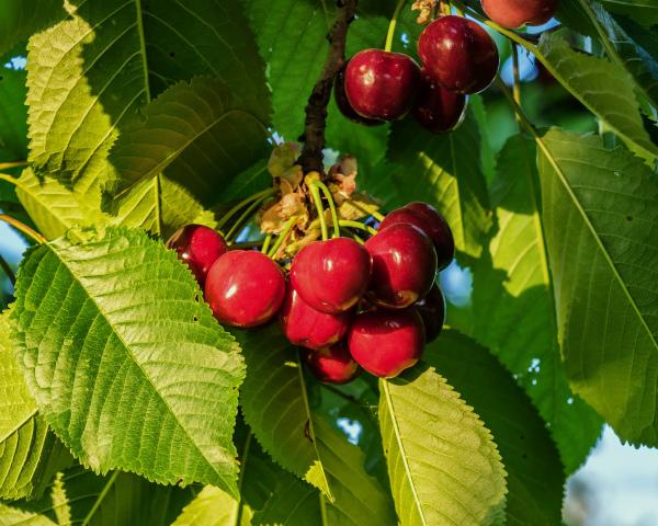 «БП-Трейд» реализует проект по выращиванию вишни и яблок стоимостью 183млнруб.