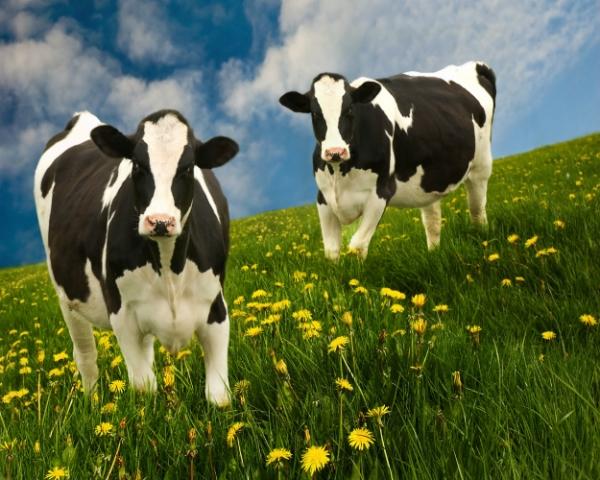 Исчезающая генетика: зарубежные молочные породы КРС продолжают вытеснять российские