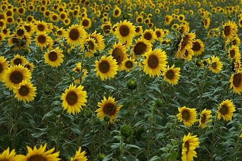 Урожай подсолнечника может обновить рекорд