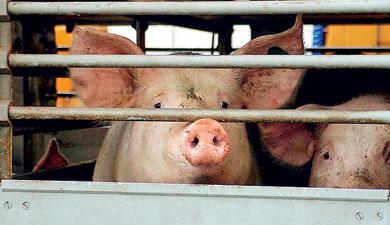 Продукт: живые свиньи