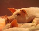 Запрет ввоза изЕС и дефицит привели к росту цен на живых свиней