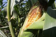 Спрос на российскую кукурузу активизировался