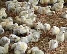 В Бурятии хотят построить новую птицефабрику