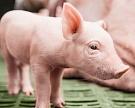 «Мерси Агро Приморье» начнет строительство третьего свинокомплекса