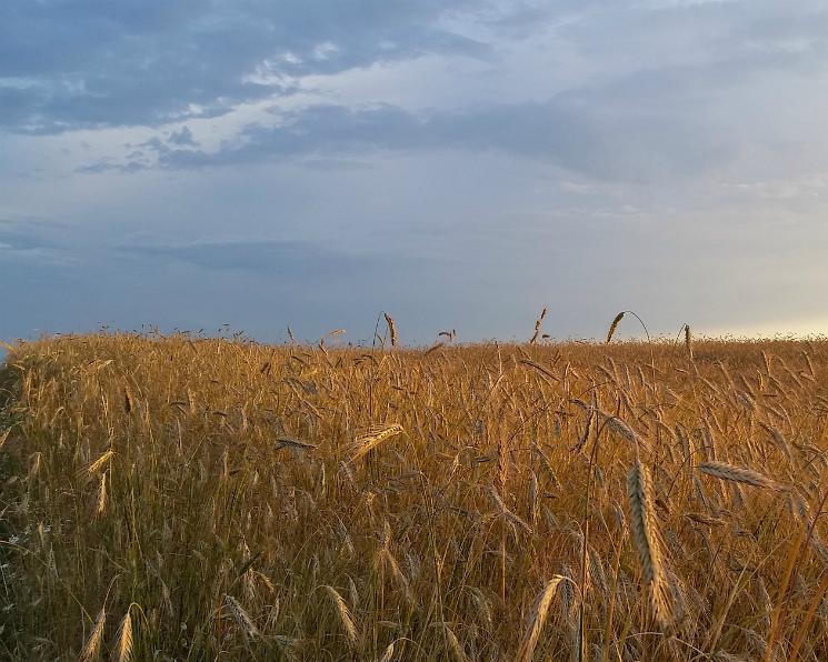 Минсельхоз США вновь повысил прогноз урожая пшеницы вРоссии