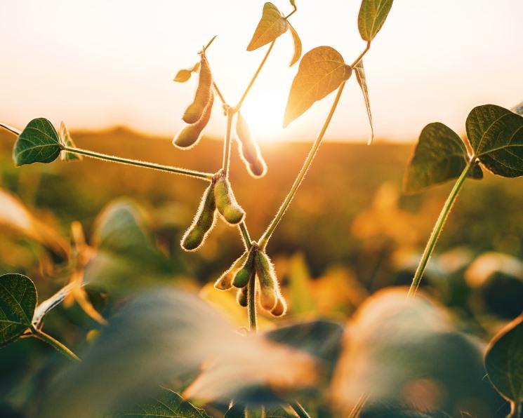 Рынку сои грозит профицит? Производство агрокультуры в центре стало превышать возможности потребителей