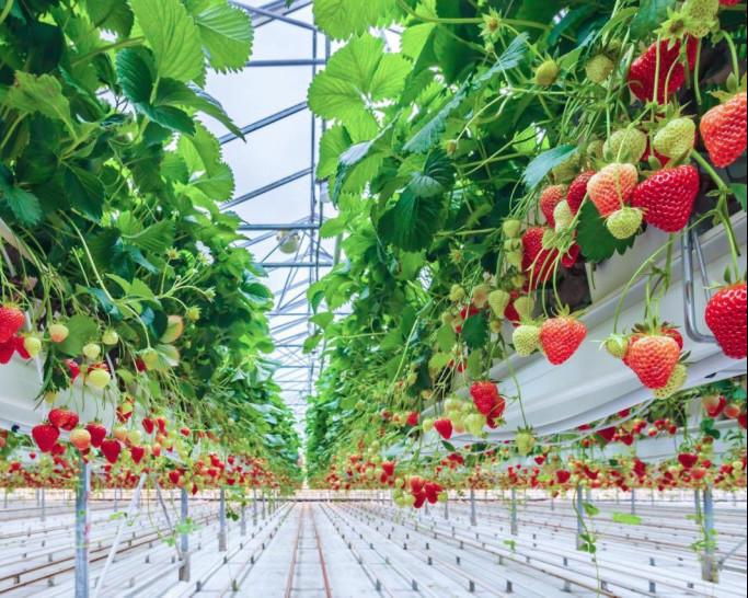 Подмосковная компания собирает урожай клубники