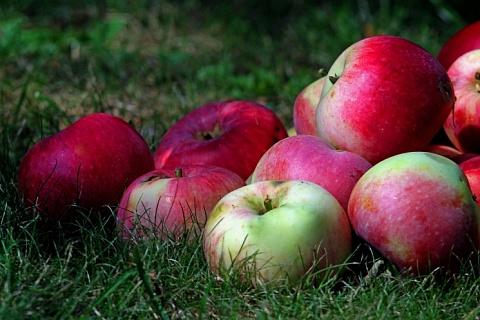 Производство яблок может увеличиться вдвое