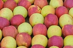 К 2024 году Россия увеличит производство яблок до 1,3 млн тонн