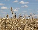 Россия нарастила продажи пшеницы в Северную Африку