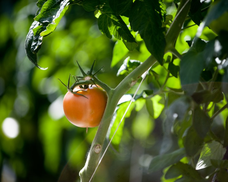 «Белая дача» построит еще 7 гектаров теплиц