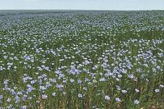 Минсельхоз: производство льна вырастет на 38% к 2025 году