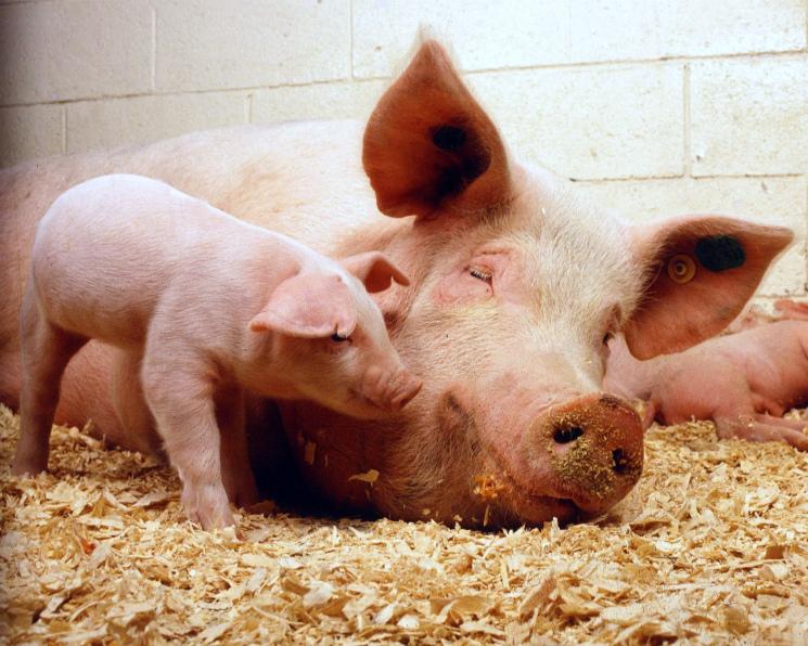 «Мерси Агро Приморье» завершила проектирование третьего свинокомплекса