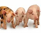 """Объем продаж """"Черкизово"""" продукции свиноводства вырос на 52%"""