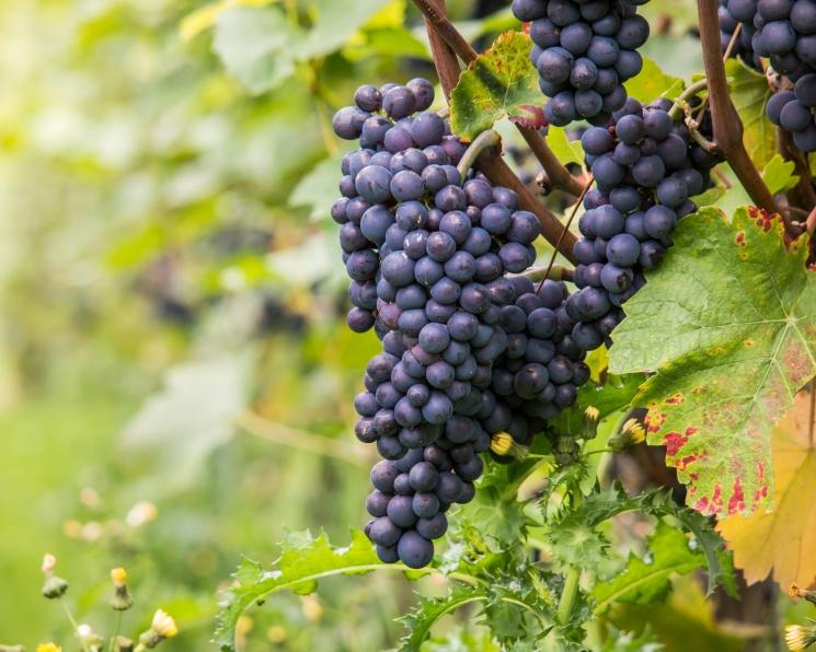 Депутаты предложили изменить закон о виноградарстве и виноделии