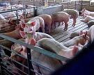 «Искра» построит свиноводческий комплекс на 12 тыс голов