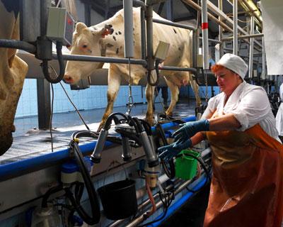 Мясо-молочная стратегия