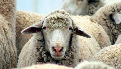 Универсальная овца