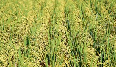 Рисовую пошлину увеличат на70%