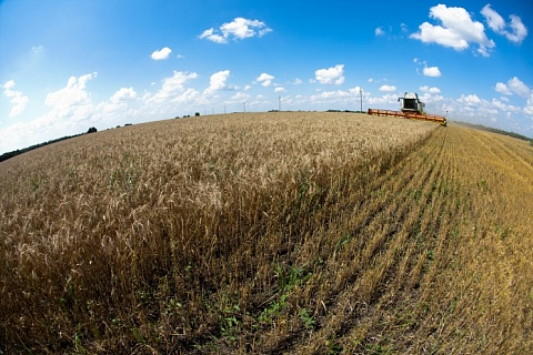 Пшеница нового урожая вновь дорожает