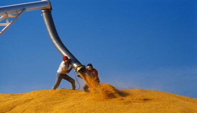 МСХ ждет падения темпов экспорта зерна