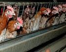 Госстат Украины озвучил показатели производства скота и птицы