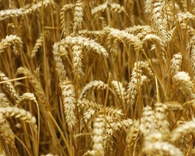 Минсельхоз США повысил прогноз поэкспорту пшеницы изРоссии