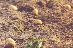 9% картофеля осталось вполях