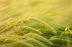 Производство ячменя в России снизится на 8%